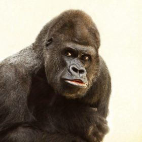 gorilla 448731 960 720 280x280 - 【参考】1週間の着回し (端正なゴリラ)