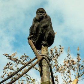 gorilla 4860542 340 280x280 - プルデンシャルの営業マンみたいなオーダースーツを作る【着こなし紹介】