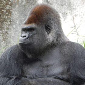 gorilla 928598 1920 280x280 - 私はゴリラっぽいと自覚してる人は見て下さい