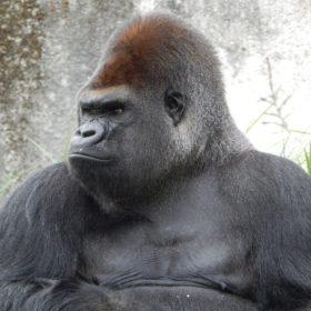 gorilla 928598 960 720 280x280 - 圧倒的にデキるビジネスマンの着こなしまとめ(ゴリラっぽい人)