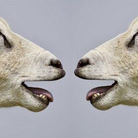 sheep 2372148 640 280x280 - ニット、着てますか?