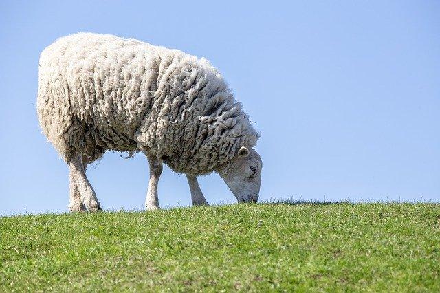 sheep 4797921 640 - 同じウールでも値段の差は何故?